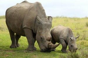 Bajó la caza furtiva de rinocerontes en Sudáfrica
