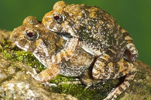 Hallan cuatro nuevas especies de ranas en India