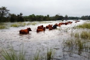 vaca-inundada
