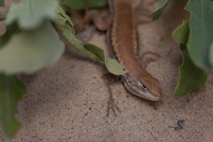 El OPDS preserva a dos reptiles nativos en peligro de extinción