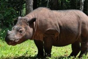Advierten que quedan apenas 200 rinocerontes de Sumatra